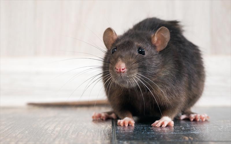 MS SERVICES - Dératisation - Dératisation rats - Dératisation souris - Particuliers - Professionnels - 24H/24 - 7J/7 - 06 46 02 29 82